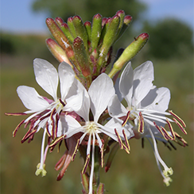 The Colorado butterfly plant is restricted to wet meadows, with its center of distribution in Laramie County and nearby areas of Colorado and Nebraska. (Bonnie Heidel Photo)